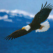 Fb logo bald eagle