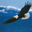 Fb logo bald eagle