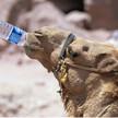 Camel drinking jordan pet 007