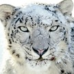 47033 789 un leopard des neiges vegetarien