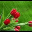 Tulipsinrain